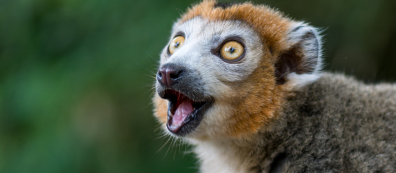 close-up of a lemur in the Cleveland Zoo